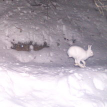 mountain hare, snowshoeing, Chamonix, the French Alps