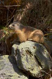 Alpine marmot. Image courtesy www.hemsleyphotography.co.uk