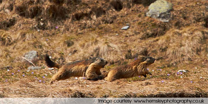 Alpine marmots taking part in unusually physical exercise