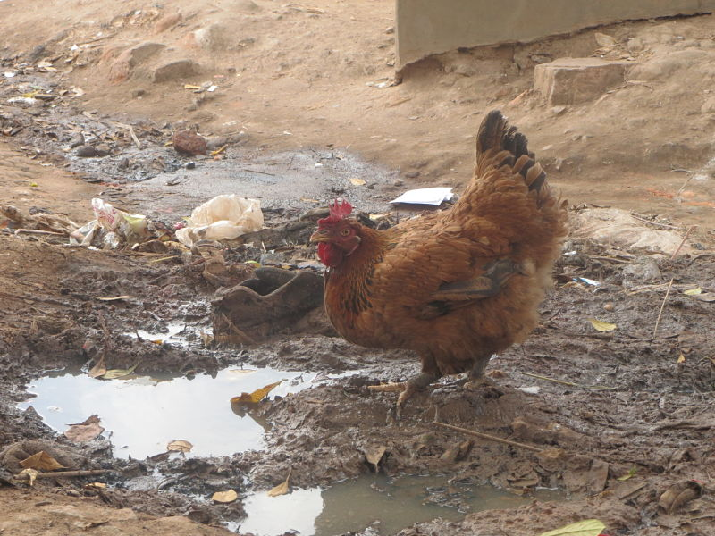 Chicken in Bwaise